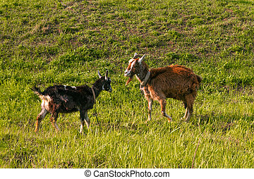 Goats graze in the meadow, eat grass on a sunny day