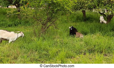 goats grazing in the field