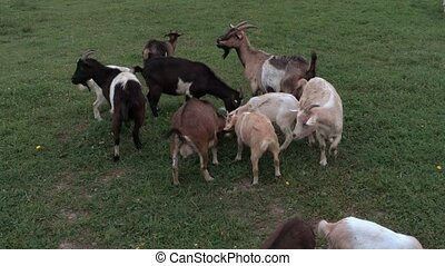 Goats grazing in the meadow in summer
