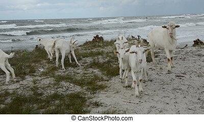 goats group on the sea beach