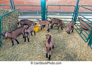 Goats Husbandry - Brown Goats in Husbandry at Animal Farm