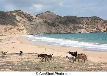 Goats in a beach of Guadeloupe