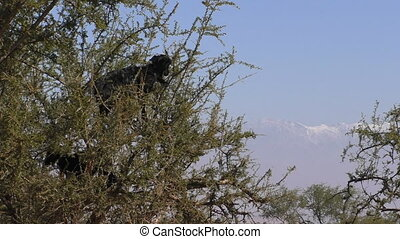Goats in Africa climb tree - Moroccan goats climb thorny...