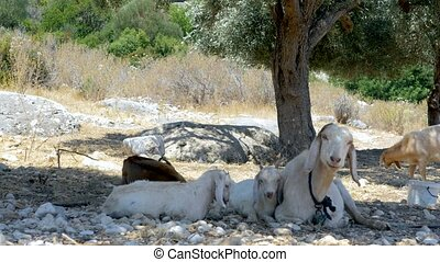 Goats in an olive groove in Turkey - Family of goats resting...