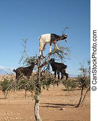 Goats in Argan tree, Morocco