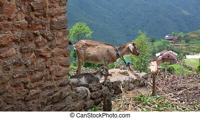 Goats in pasture at Himalaya Mountains, Nagarkot, Kathmandu, Nepal