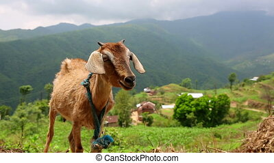 Goats in pasture at Himalayas Mountains, Nepal - Goats in...