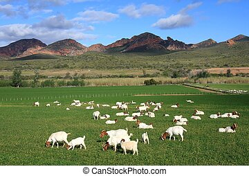 Flock of goats in a green meadow and mountain in background