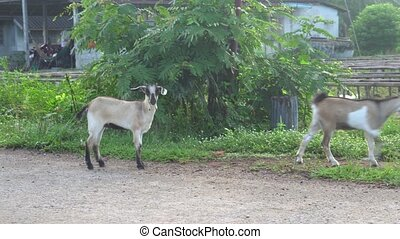 Goats in Thai farm - Funny goat standing and looking into...