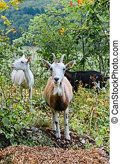 Goats in the bush