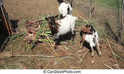 Goats in the fence of farm