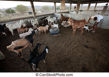 Goats in the goat shed