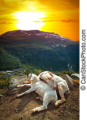goats in the mountains.