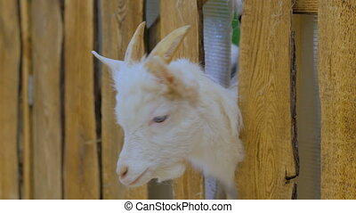Goats looks around from wooden fence on a farm - Close up...