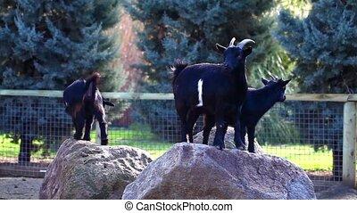 Goats Mammal Animal