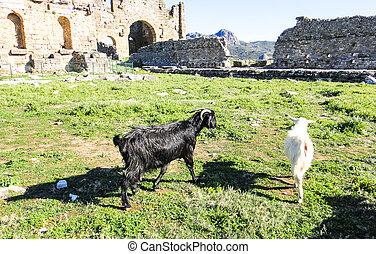 Goats of Aspendos. Turkey