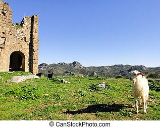 Goats of Turkey