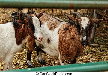 Goats on a farm in Portugal