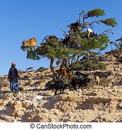 Goats on argan tree.