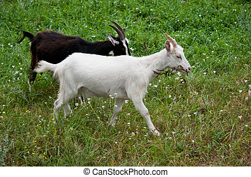 Goats on the green grass