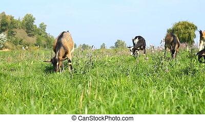 Goats pasture on a green grass