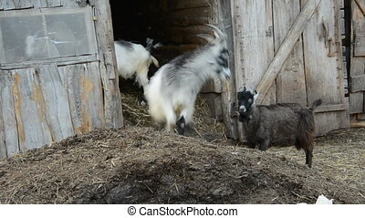 goats playing in the farm