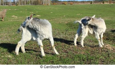 goats scratch themselves on the pasture - two goats scratch...