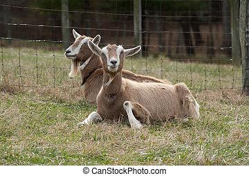 Goats sitting