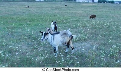Goats standing on the pasture
