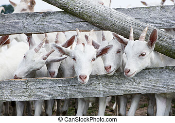 goats - a herd of young white goat standing on a pasture and...