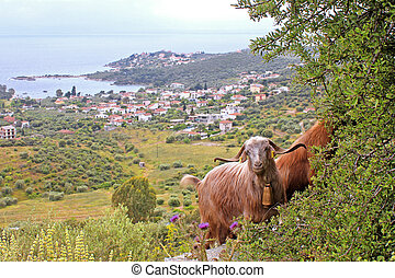 Goats with sea in the backgroun