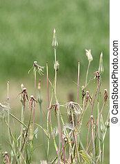 Goatsbeard (Tragopogon - A closed flower of a goatsbeard ...