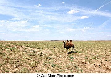 gobi の砂漠, らくだ