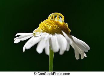 goccia, closeup, scuro, rugiada, fondo., fiore, mattina, margherita