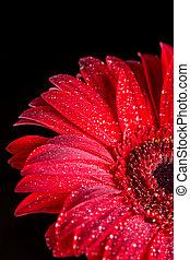 goccioline, acqua, sfondo nero, gerbera, rosso