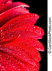 goccioline, acqua, sfondo nero, macro, closeup, gerbera, rosso