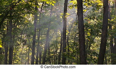 God beams - coniferous forest early in the morning Foggy...
