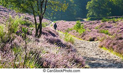 Godenmorgen - Walking in a flowering heathland