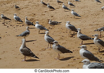 Goelands on the beach - Algarve
