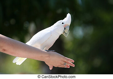 Goffin\\\'s Cockatoo with dollar bill, Cacatua goffini,...