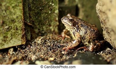 Goggle-eyed Toad lurking sitting unblinking close to