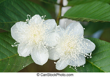 goiaba, flor