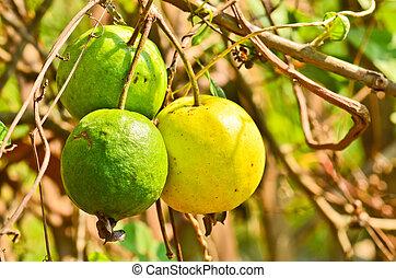 goiaba, fruta
