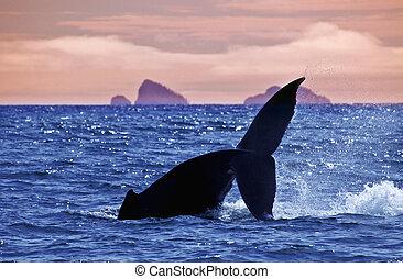 Whale tale in Kenai Fjord bay