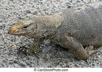varan reptile - going varan reptile close up
