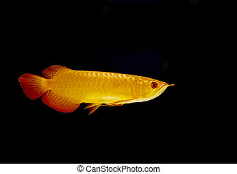 Gold arowana fish (Scleropages aureus)