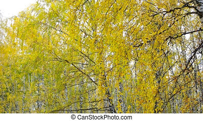 gold autumn birches against blue clear sky in city park -...