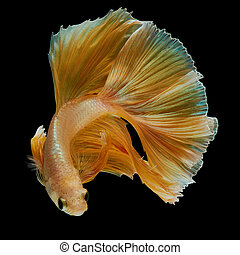 betta fish - gold betta fish, fighting fish , siamese ...