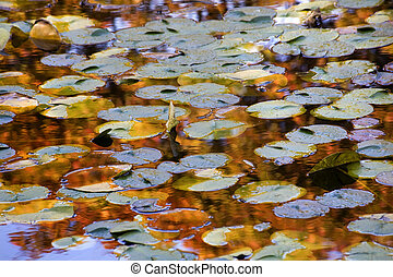 Gold Blue Lily Pads Water Reflections Van Dusen Gardens