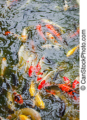 Gold carp and other fish in the pond.